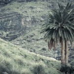 La palmera de dos troncs